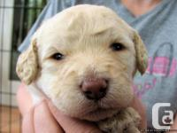 Labradoodles are one of the best family dogs. The
