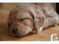 Multi Generational Labradoodle puppies ready for