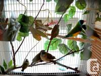 Black Headed Lady Gouldian Finches for sale born May