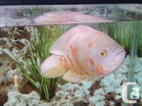 Zeus is an Albino Oscar that is about 4 years old and