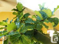 12 ft higher fiddleleaf fig houseplant. Canopy is 6ft