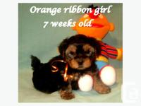 Leah & Gizmo's 3/4 Yorkie 1/4 Lhasa puppies (2 girls,