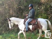 Horses for lease in Metchosin: Domingo: 15.3hh paint