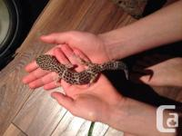 We are selling our 6 year old 9 inch leopard gecko. We