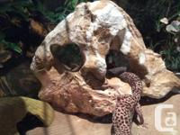 LepoardsGeckos, male & female with tank and heating