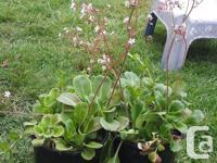 London pride is a prolific growing ground cover. Grows