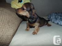 Dachshunds are the perfect pet/companion if you are
