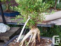 Selection of Lonicera evergreen Starter Bonsai's,