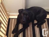 we have a one year old Black male lab/ pitbull cross