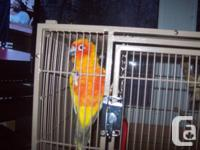 Hello we have a proven pair of sun conure.The female