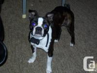 I have a beautiful 2yr old pure bred Boston Terrier