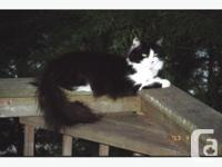 One-year old male cat, missing from Stittsville