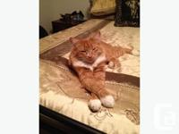 Just moved to Kelowna and we've lost out orange tabby