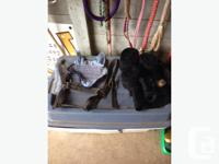 For sale BR horse polos black (prfered trade for opne