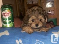 Beautifull Shih Tzu cross Toy Poodle Puppies offered.