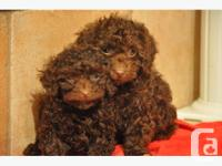 2 very playful purebred, 10 weeks old male toy poodle.