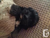 3 super sweet Malti Poo females ready to go home 1st