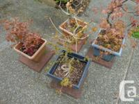 4 maple bonsai. 8 to 12 years old. Approx 12 inches