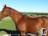 Lovely Mild Titan 2005 17.2 h Warmblood Chestnut Mare.