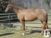 Gorgeous 7 year old AQHA Appendix spayed mare. 15.2 HH