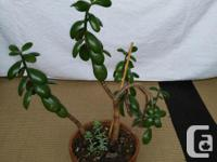 - Crassula Ovata, commonly known as Jade Plant, is a, used for sale  British Columbia
