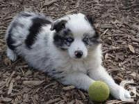 Our pups are from quality mini aussie bloodlines,