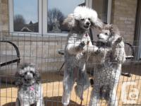 Beautiful 3 male miniature poodles Canadian Kennel Club