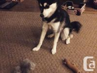 4 month old miniature Siberian husky. Moving to the
