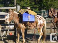 10 year old Appaloosa Molly Mule with saddle and 2