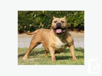 NEVER BEEN BREED MONSTER BULLY FEMALE FOR SALE 2 YRS