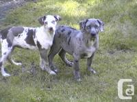 Beautiful litter of Catahoula puppies ready for new