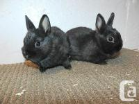 WE HAVE SEVERAL LITTERS OF PUREBRED NETHERLAND