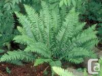 This is a great time to plant these ferns so they will