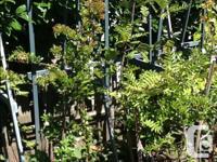 Beautiful house nut tree only. $99. Monten arsh tree