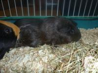 These are two male guinea pigs, just over a year old