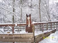 15.2 -14 year old quarter horse mare. Strictly a trail