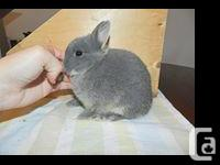 SELLING ALL OF OUR NETHERLAND DWARFS, ALL PUREBRED WITH