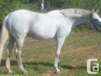 G F Rapid N Fancy is a 16.2 hh Grey AJC Thoroughbred
