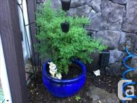 Various plants in nice pots, red maple + lavender,