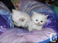 bebe chattons de 7 semaine tout blanc super beau et