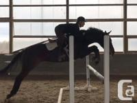 Gorgeous dark bay Mare, 16.1hh, 9 yr old. Safe and well