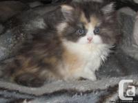 purrfectkeeperz.com has a Purebred Persian calico