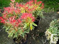 Pieries japonica Havila, small to medium size shrub,