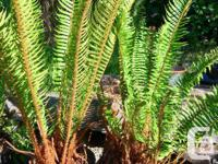 Large, healthy mature sword ferns. $10 for 3 gal pot;