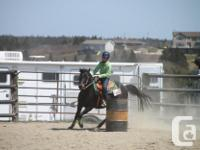 """POLLY"" Beautiful 14.2 NFLD Quarter horse For sale or"