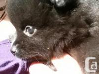 2 Pomeranian Female puppies, ready to go May 21. look