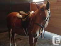 Seren is a 14hh qh pony mix for lease at Hunt Valley