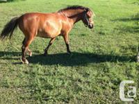 "7 yr old filly pony for sale. 42"" high. Not broke to"