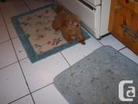 Tiny, apricot female toy poodle puppy. All shots. Full