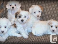 Beautiful toy poodle young puppies bred for sound